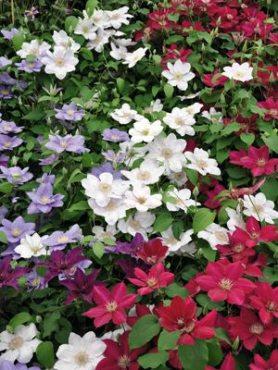 Клематисы крупноцветковые, смесь сортов (весна) (3 шт)