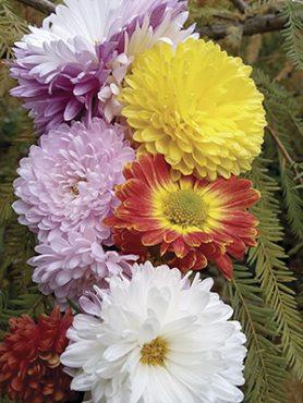 Хризантема садовая,смесь сортов (3 шт)