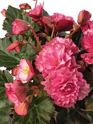 Бегония красивоцветущая (зимняя) Frivola Pink (1 шт) - 1