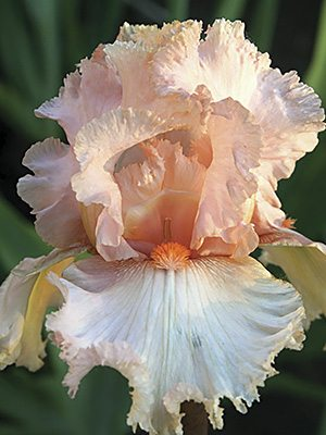 Ирисы высокие бородатые Рожева вуаль, 1 шт - 1