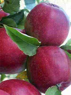 Яблоня Лигол (1 шт)