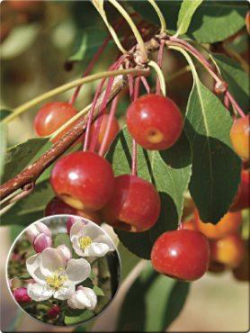 Яблоня ягодная (1 шт)