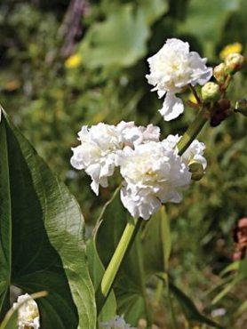 Стрелолист обыкновенный Flore Pleno (1 шт)
