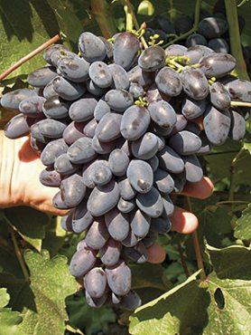 Виноград Атос(1 шт)