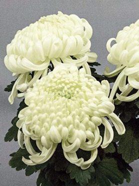 Хризантема срезочная Vienna White (3 шт)