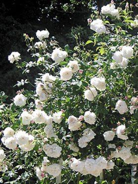 Роза в'юнка Aimee Vibert (1 шт)