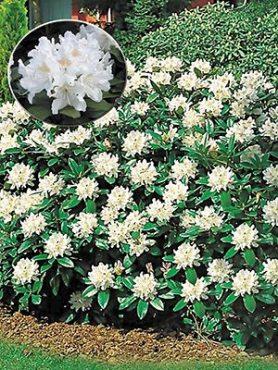 Рододендрон кавказький Cunningham's White (1 шт)