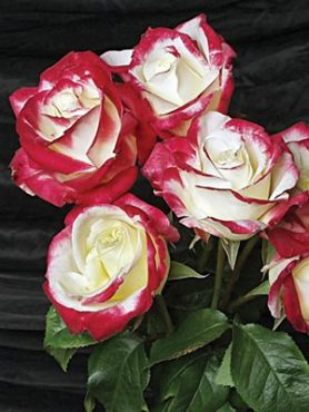 Роза чайно-гибридная Double Delight(1 шт)