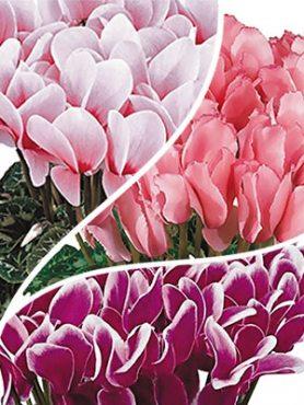 Цикламены, смесь крупноцветковых сортов(осень) (3 шт)