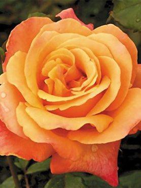 Роза чайно-гибридная Lolita (1 шт)