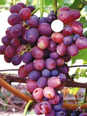 Виноград Лелик (1 шт)