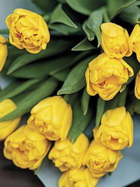 Тюльпаны Махровые ранние Limousine 1112 (3 шт)