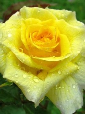 Роза флорибунда Friesia (1 шт)