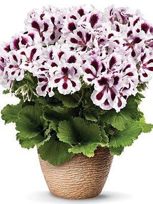 Пеларгония королевская Aristo Purple Stripes (1 шт) - 1
