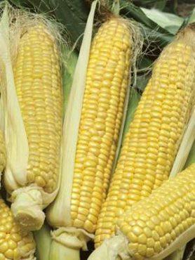 Кукуруза овощная сахарная Перфекта F1 (10 г)