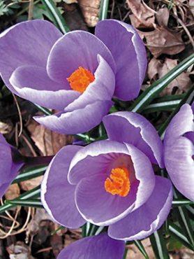 Крокус крупноцветновый весенний Grand Maitre 78 (100 шт)