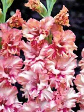 Гладиолус садовый Kissy (5 шт)