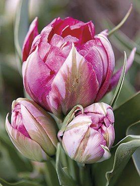 Тюльпаны Махровые ранние Flash Point 1011 (3 шт)