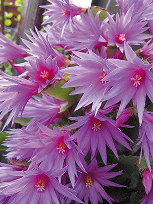 Рипсалидопсис Гертнера Purple (1 шт) - 1