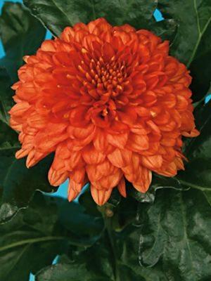 Хризантема срезочная Kiev Orange (3 шт) - 1