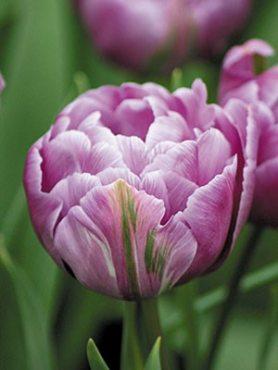 Тюльпаны Махровые ранние Blue Diamond 12+ (20 шт)