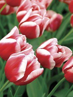 Тюльпани Тріумф Leen Van Der Mark 12+ (20 шт)