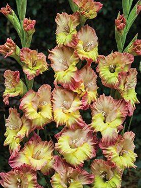 Гладиолус садовый Volare (5 шт)