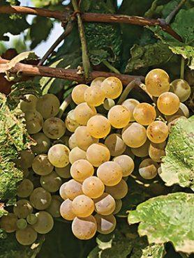 Виноград Аліготе(1 шт)