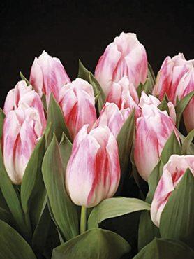 Тюльпаны Кауфмана Pleasurre 12+ (100 шт)