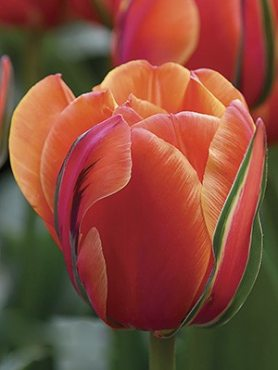 Тюльпаны Махровые поздние Queensday 12+ (20 шт)