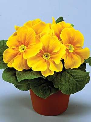 Примула обыкновенная Elba Orange F1 (3 шт) - 1