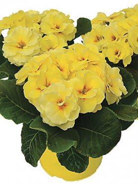 Первоцвіт звичайний (акауліс) Rubens Lemon Shades F1 (3 шт)