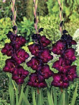Гладиолус садовый Back Star 1214 (50 шт)