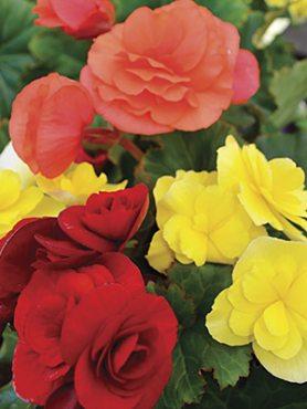 Бегония красивоцветущая Solenia, смесь (3 шт)