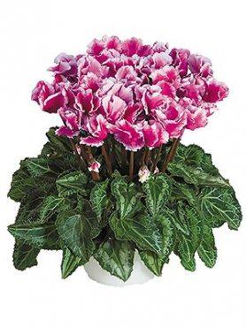 Цикламен среднецветковый Premium Abanico Violet F1 (1 шт)
