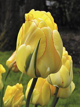 Тюльпаны Махровые поздние Akebono 1112 (20 шт)