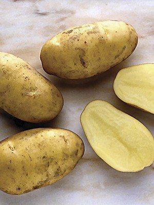 Картофель Nikola (100 шт) - 1