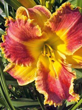 Лілейник гібридний Bo Diddley (весна) (1 шт)
