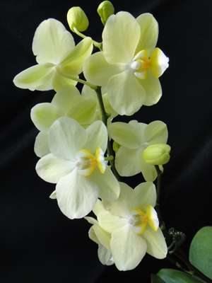 Фаленопсис гибридный Cream (1 шт) - 1