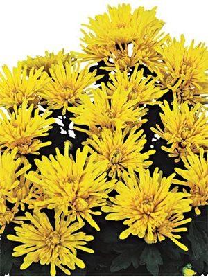 Хризантема горшечная Kodiak Yellow (3 шт) - 1