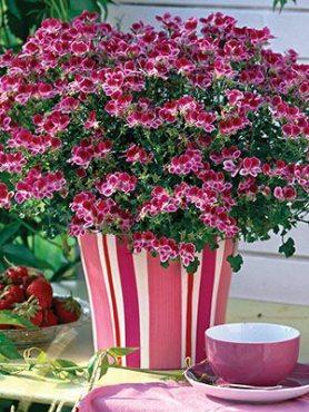 Пеларгония виолоцветная Angeleyes Burgundi Red (1 шт)