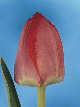 Тюльпани Дарвиновы гібриді. Spring Song 12+ (100 шт)