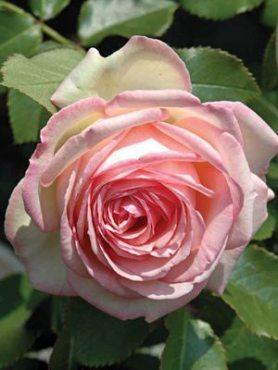 Роза в'юнка Eden Rose (1 шт)