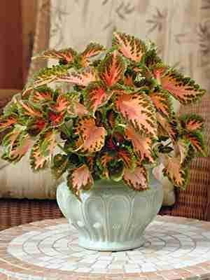 Колеус гибридный Wizard Coral Sunrise (10 шт) - 1