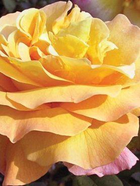 Роза чайно-гибридная Adolf Horstmann(1 шт)