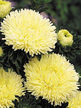 Айстра однорічна Помпонна Bolero Yellow (0,5 г)