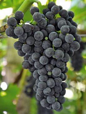Виноград Каберне Кортис (1 шт)