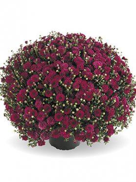 Хризантема мелкоцветковая низкорослая Harlem Purple (9 шт)