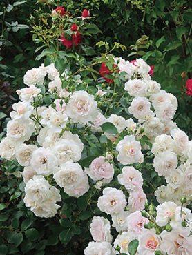 Роза почвопокровная Lovely Meilland(1 шт)