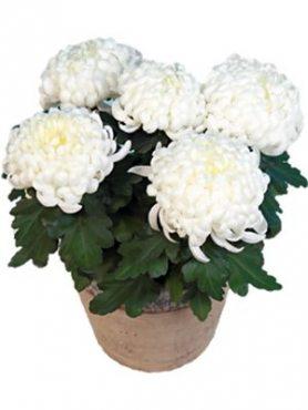 Хризантема горшечная Candela (3 шт)